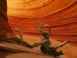 Snag Among Slickrock Formation, Coyote Buttes Area of Paria Canyon Photographic Print by Adam Jones