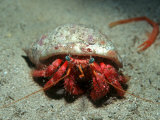 Hermit Crab, Gozo, Mediterranean Photographic Print by Paul Kay