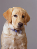 Portrait of Labrador Retriever Photographie par Bruce Ando