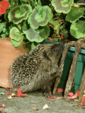 Hedgehog, Climbing up into Flower Container Photographic Print by Mark Hamblin