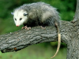 Opossum on Branch, USA Photographic Print by Mark Hamblin