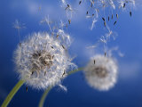 Dandelions Blowing in the Wind Fotografisk tryk af Henryk T. Kaiser