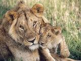 African Lion, Masai Mara Reserve, Kenya Fotografisk tryk af Richard Packwood