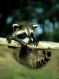 Raccoon, Portrait of Young Coon in Aspen Tree, UK Fotografisk trykk av Daniel J. Cox