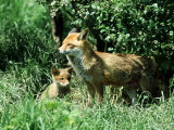 Fox, Vixen with Cub, Surrey Photographic Print by David Tipling