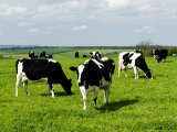 Freisian Cows, Oxfordshire, UK Lmina fotogrfica por Martin Page