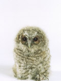 Tawny Owl, Young Photographic Print by Les Stocker