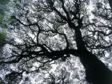 Old Oak Tree Limbs Against the Sky, TX Photographic Print by Don Grall