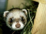 European Polecat, Young, UK Photographic Print by Les Stocker