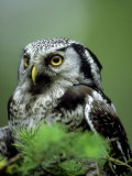 Northern Hawk Owl, Portrait, Montana, USA Photographic Print by Frank Schneidermeyer