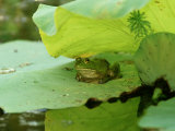 Bullfrog, Rana Catesbeiana on Lilypad Photographic Print by Adam Jones
