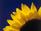 Sunflower in Studio Close-up Photographic Print by William Swartz