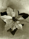 Top View of Plant, Sepia Tone Photographic Print by Cheryl Clegg