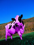 Purple Cow in a Field Photographic Print by Lynn M. Stone