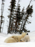 Mother Polar Bear and Two Month Old Cub Photographic Print by Yvette Cardozo