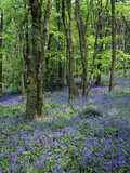 Bluebells in Deciduous Woodland, UK Photographic Print by Mark Hamblin