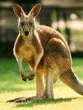 Australian Kangaroo Fotografisk tryk af Peter Walton