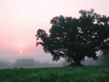 Foggy Sunrise and Oak Tree Photographic Print by Pat Canova