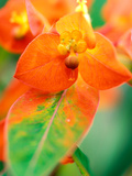 Euphorbia Griffithii &quot;Fireglow,&quot; Close-up of Orange Flower Bract Photographic Print by Lynn Keddie