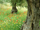 Wild Flowers in Olive Grove, Skiathos, Greece Photographic Print by Ian West