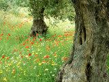 Wild Flowers in Olive Grove, Skiathos, Greece Photographic Print by Ian West