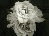En blomst folder sig sammen Fotografisk tryk af Cheryl Clegg