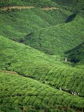 Tea Plantation, W. Malaysia Photographic Print by Harold Taylor