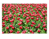 FL-03A Tulips Photographic Print by Luke Kneale