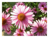 Pink Daisies Photographic Print by Loren Lambert