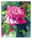 Red Rose Giclee Print by Cindy Gilbane