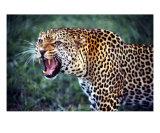 Leopard, Nairobi National Park, Kenya Photographic Print by Fernando Quevedo