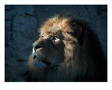 Lion Light Photographic Print by Bill Stephens