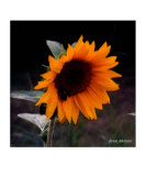 Sunflower Photographic Print by Jamie Atkinson
