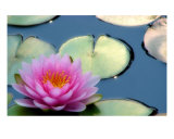 Lovely Water Lily Photographic Print by Holly Smith