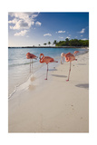 Caribbean Beach With Pink Flamingos, Aruba Photographie par George Oze