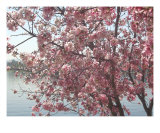 Cherry Blossoms 4 Photographic Print by Lynn C Johnston