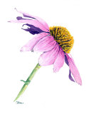 Echinacea Purpurea Giclee Print by Cindy Gilbane