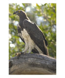 Marshall Eagle Photographic Print by Mark Levy