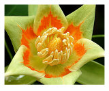 Tulip Tree Flower Photographic Print by Tibor Toth