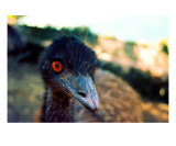 AI-09A Emu Photographic Print by Luke Kneale