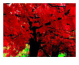Red Tree, New England Photographic Print by Vicky Brago-Mitchell