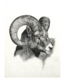 Ram Giclee Print by Heather Theurer