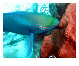 Parrotfish Flying And Munching Photographic Print by Bob Klemow