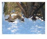Grand Canyon Fox In Winter Photographic Print by Edward Reese