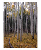 Aspen Forest Photographic Print by Shari Colwell
