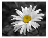 Daisy Photographic Print by James Cihula