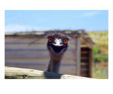 AI-01A Emu Panoramic Photographic Print by Luke Kneale