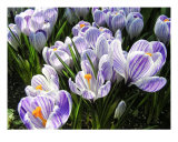Crocuses Photographic Print by Mary Lane