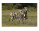 Zebra Conflict Photographic Print by Mark Levy