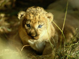 A Two-Week-Old Lion Cub with Blue Eyes Photographic Print by Beverly Joubert
